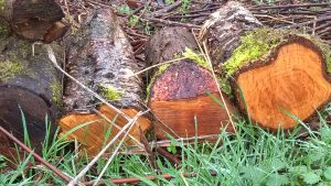 Recently felled alder logs